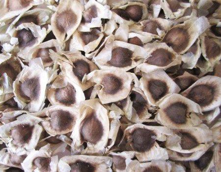 Moringa Oleifera Seeds - Small Packet of 25
