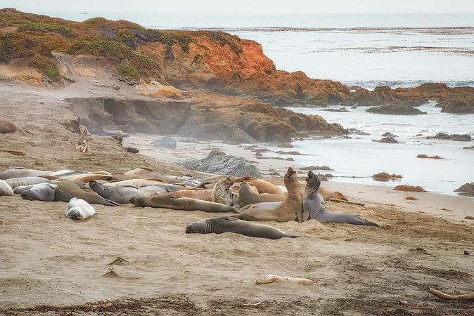 Elephant seals-1.jpg