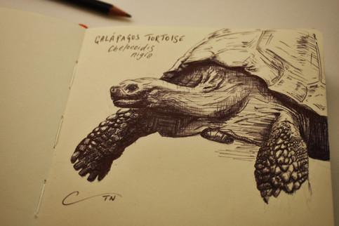 Galapgos Tortoise