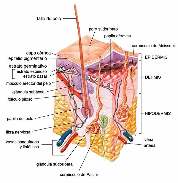 Estructura de la piel con epidermis, dermis, subcutis (de Wikipeia)