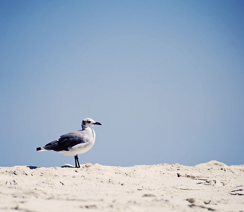 Seagull searching for food
