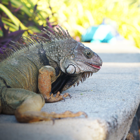 Lizard captured in Puerto Rico. Reptiles are my favourites.