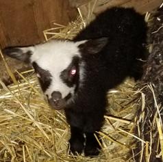 Shetland Lamb