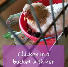 Hen in a bucket of chicks