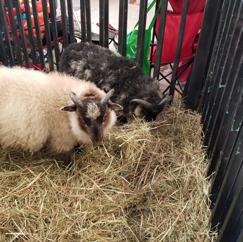 Lamb at Fair 2019