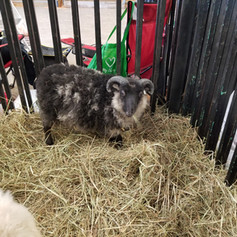 Ram Lamb 2019