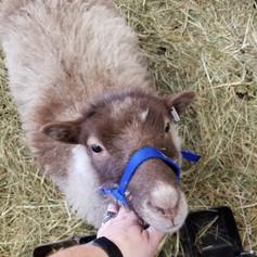 2019 Yearling ewe