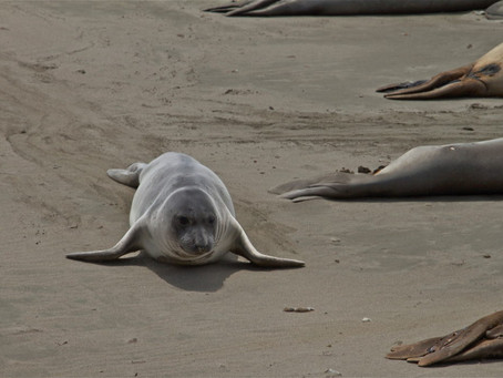 A VISIT WITH THE ELEPHANT SEALS IN CENTRAL CALIFORNIA