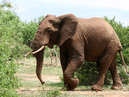 POACHING PACHYDERMS: AFRICA'S VICTIMS OF THE ILLEGAL IVORY TRADE