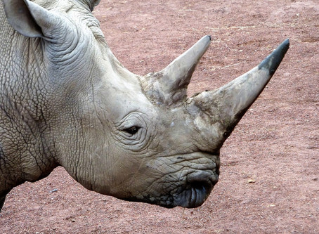 THE HUNT FOR RHINO HORNS: WILDLIFE PROTECTORS DEHORN RHINOS TO SAVE THEIR LIVES