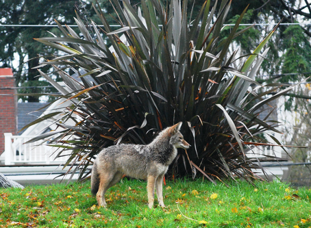 URBAN COYOTE CONFLICTS