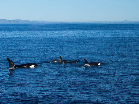 KILLER WHALES HUNTING NEAR THE CHANNEL ISLANDS