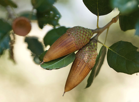 THE VALUE OF ACORNS AND OAK TREES