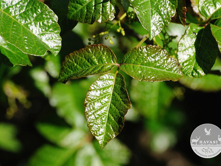 PROTECTING YOURSELF FROM POISON OAK