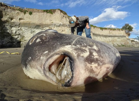 RARE 7-FOOT FISH WASHED ON CALIFORNIA COASTLINE FOR THE FIRST TIME IN RECORDED HISTORY