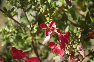 THE SWEET INGREDIENT IN ALLERGY: POISONOUS PLANTS & FOOD ALLERGIES
