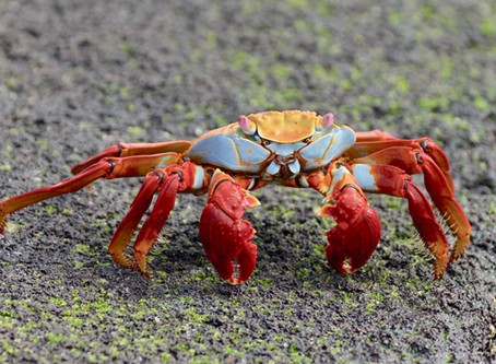 COOL CRUSTACEANS OF THE GALÁPAGOS— THE SALLY LIGHTFOOT AND GHOST CRABS