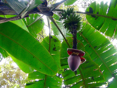 PANAMA ADVENTURES PART 2: GOING BANANAS!