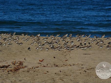 SEABIRDS AND SHOREBIRDS