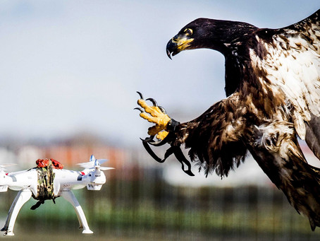 IN-FLIGHT FIGHT: EAGLES USED TO TAKE DOWN DRONES