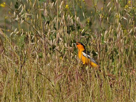 SUMMERTIME BIRD SPECIES IN SOUTHERN CALIFORNIA