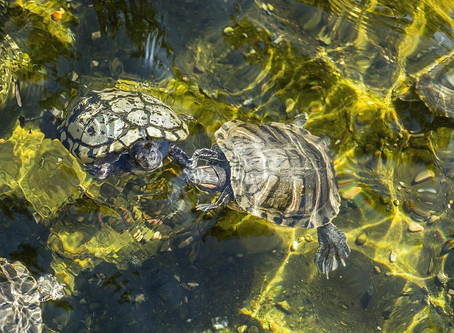 HOME ON THE RANGE: THE WESTERN POND TURTLE