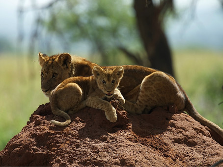SURPRISING FACTS ABOUT LIONS