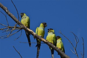 THE CONCRETE JUNGLE: UNCOVERING THE MYSTERY OF WILD PARROTS IN SOUTHERN CALIFORNIA