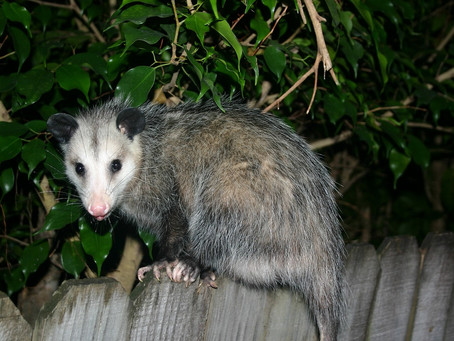OPOSSUMS ARE AWESOME
