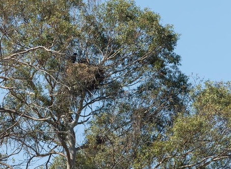 WILDERNESS JOURNAL: VISITING BALD EAGLES AT LAKE CASITAS