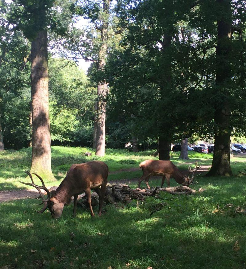 deer in London