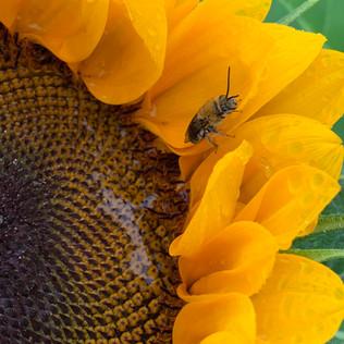 bee on sunflower.jpg