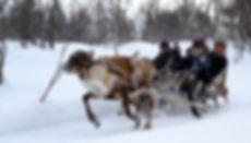 reindeer; reindeersledding; lapland;
