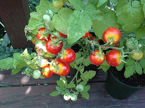 Minibel Mini Tomato
