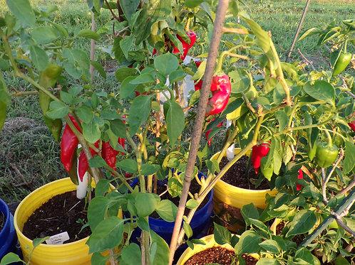 Piment D'Espelette Pepper Plant
