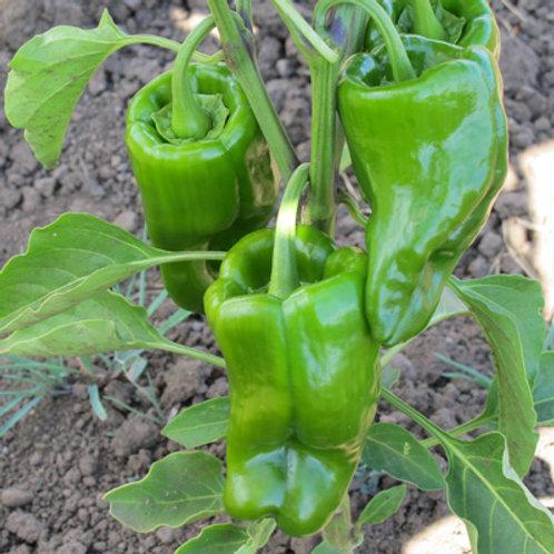 Ancho Magnifico Pepper