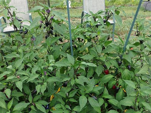 Purple Jalapeno Pepper