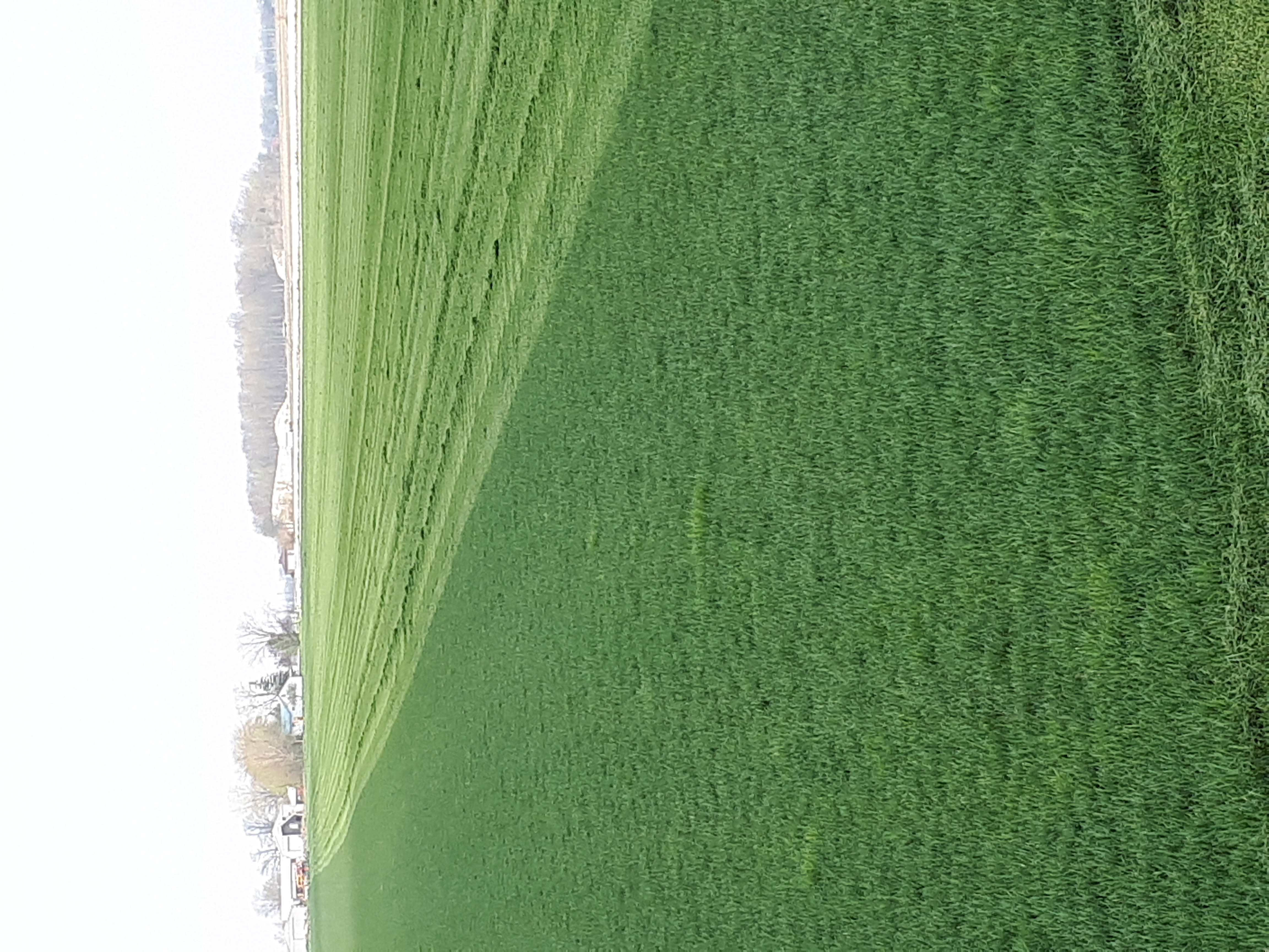 Freshly Mowed Kentucky Blue Grass