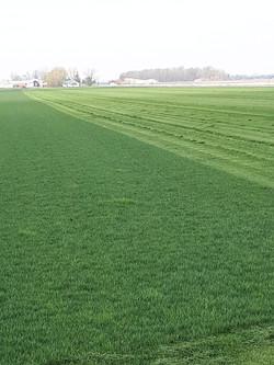 Freshly Mowed Kentucky Blue Grass