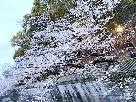 江戸川公園の桜(関口大洗堰跡)
