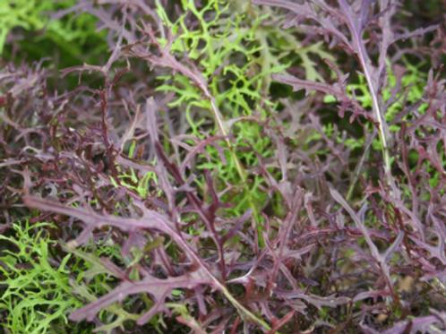 Freshly Picked Mizuna (mixed green & red)