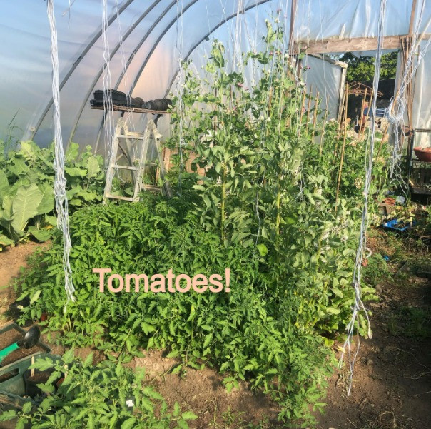Self seeded tomatoes taking over the polytunnel