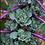 Thumbnail: Kalettes (per tree)