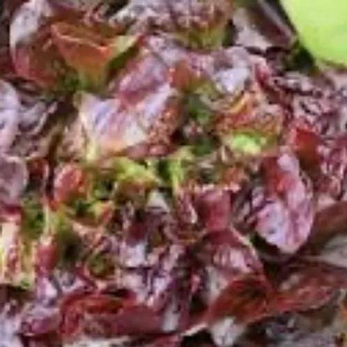 Oak leaf lettuce (each)