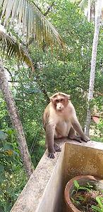 Singe sur le balcon, Voyage en Inde du sud, Ayurvéda, Massages ayurvédiques, Kerala