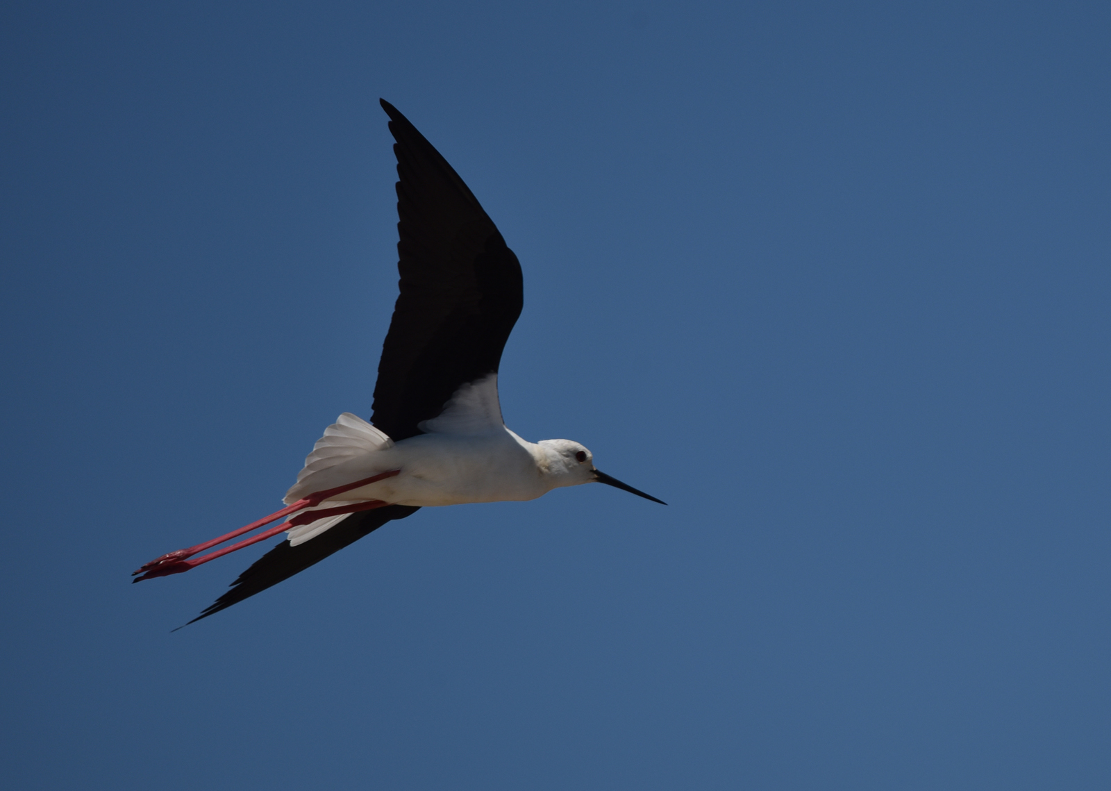 Brian McLean_Black Winged Stilt_None