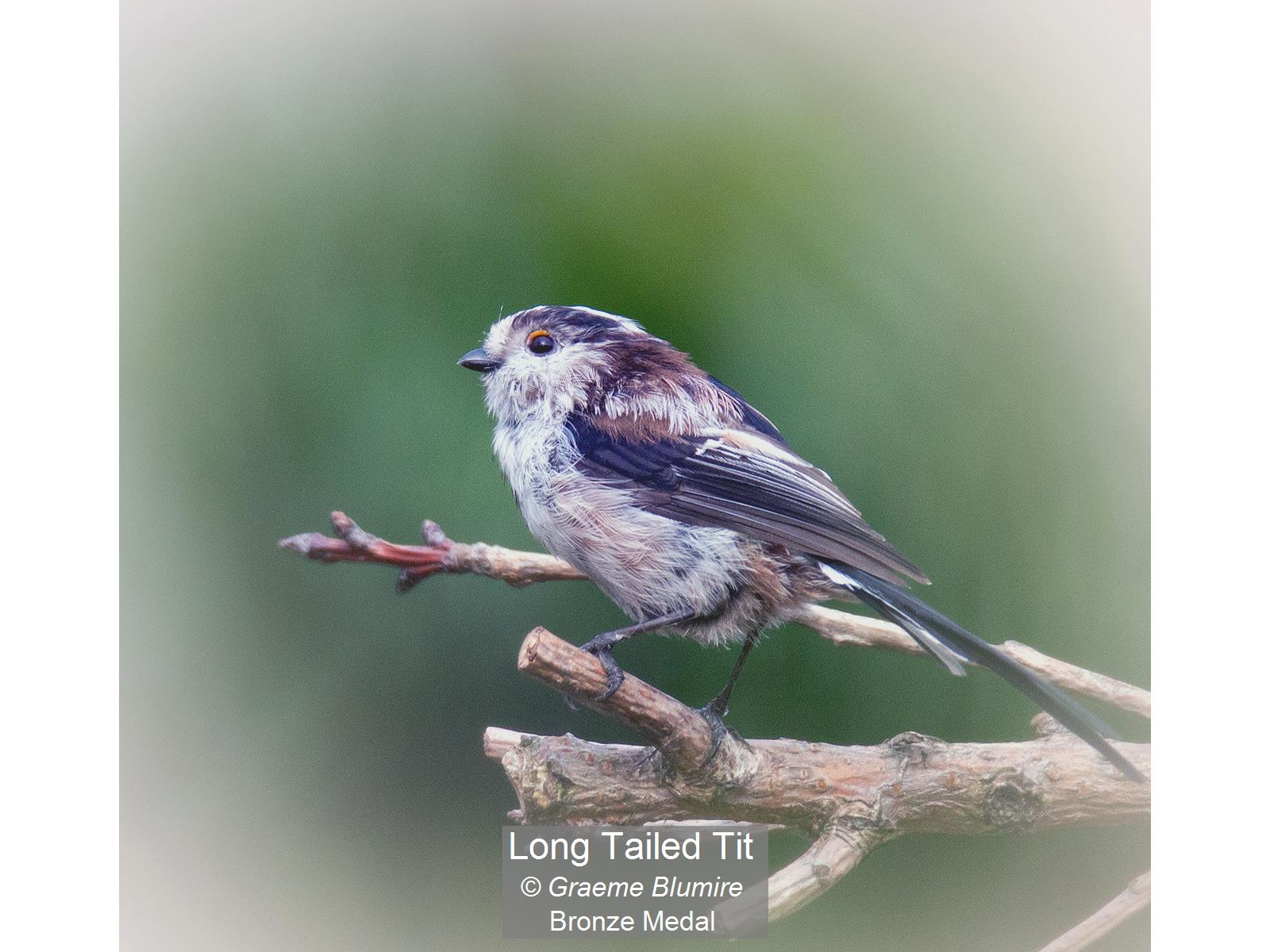 Long Tailed Tit_Graeme Blumire_Bronze