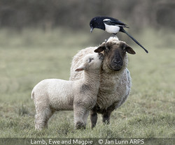 Jan Lunn_Lamb, Ewe and Magpie