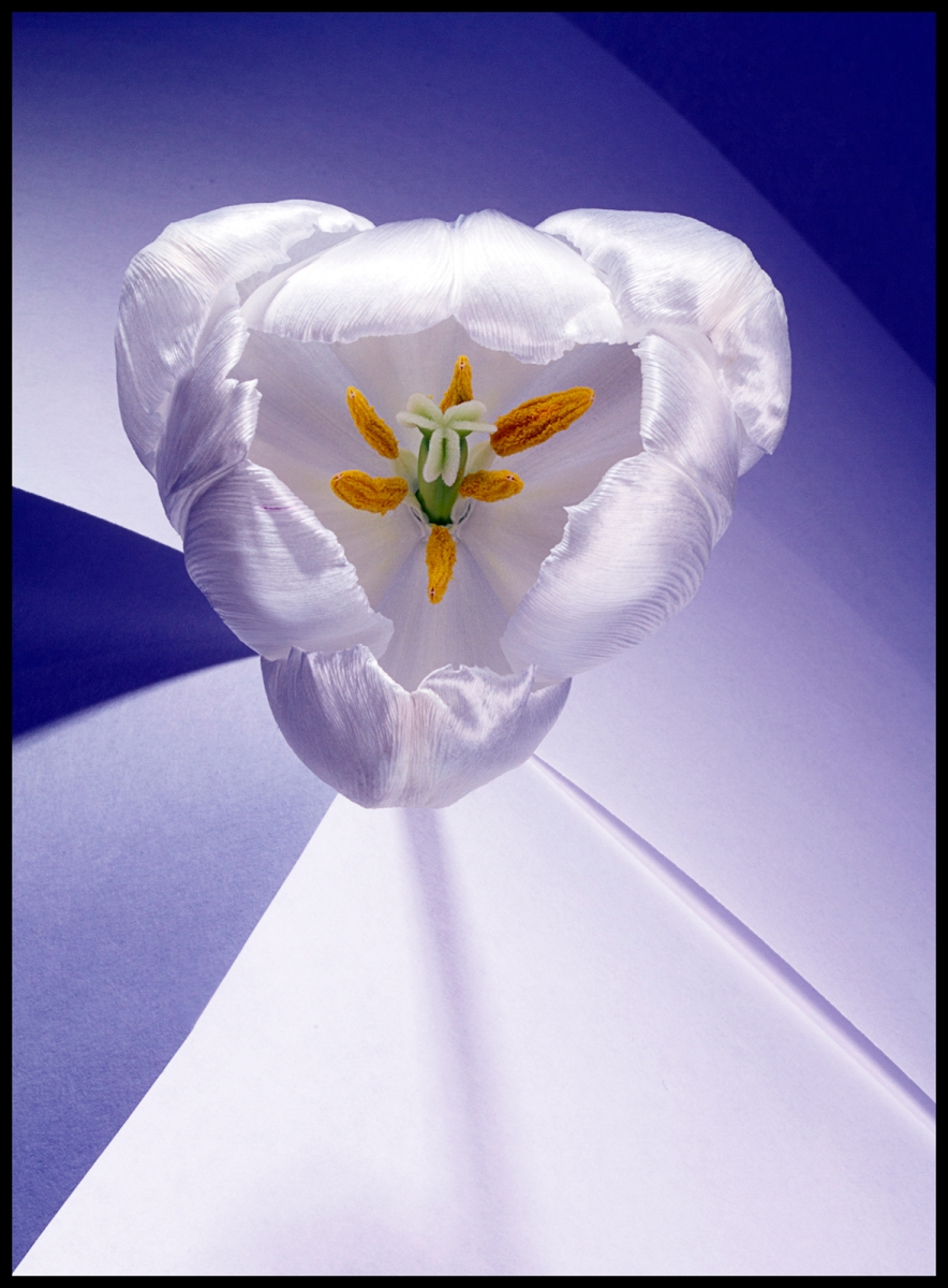White tulip_Mark Jeffery_Third