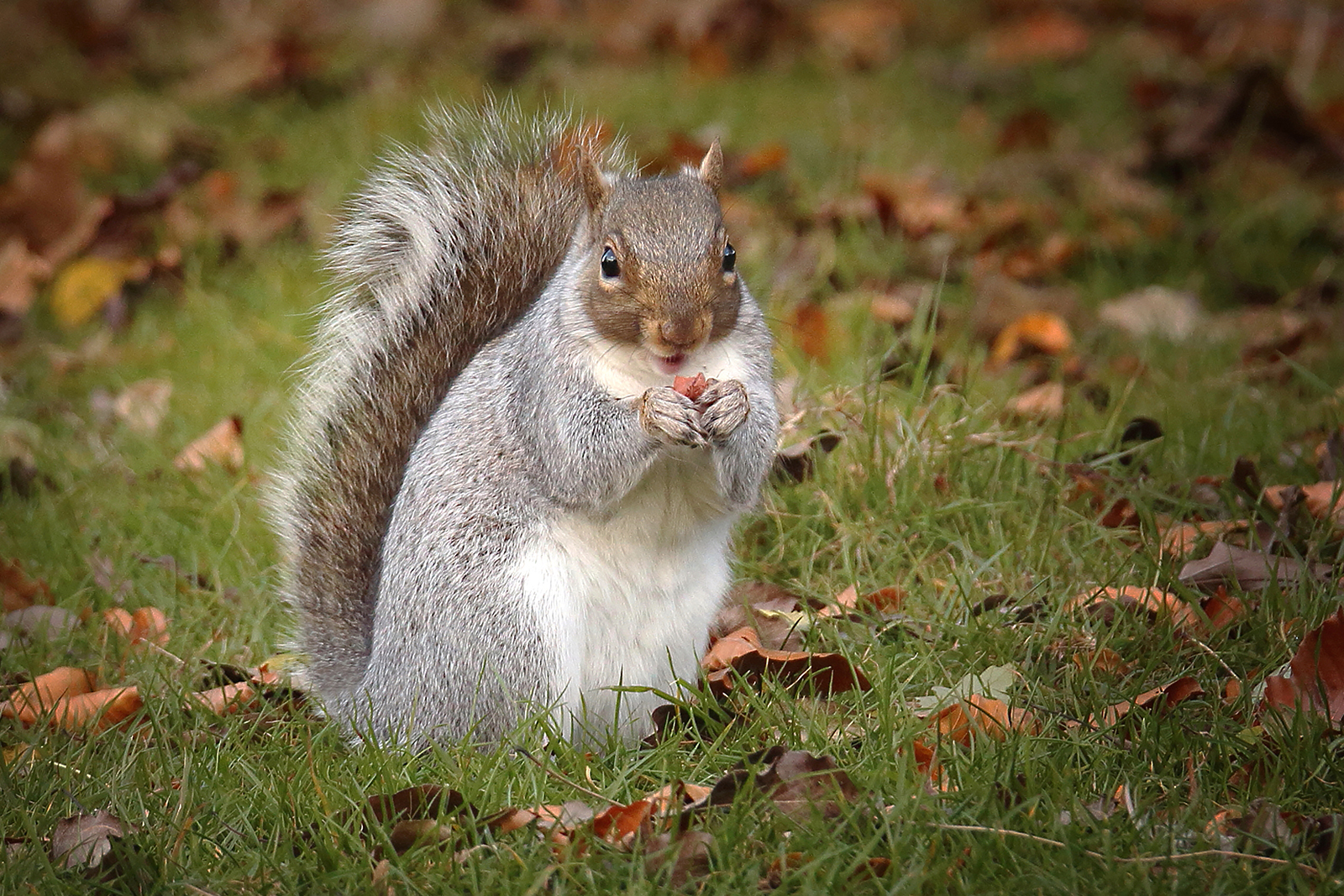 Graeme Blumire_Nutty Squirrel_None
